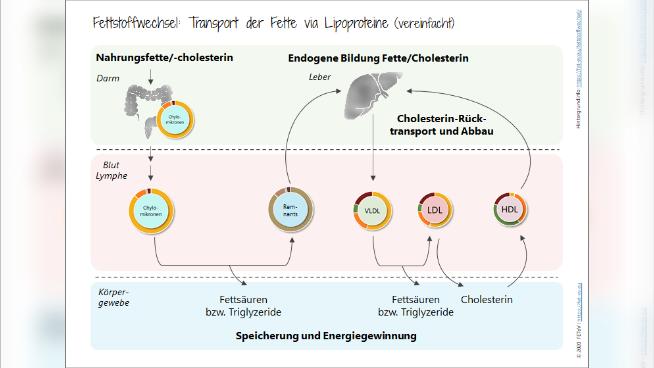 Fettstoffwechsel: Transport der Fette via Lipoproteine
