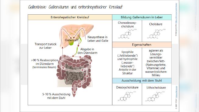 Gallenblase: Gallensäuren und enterohepatischer Kreislauf