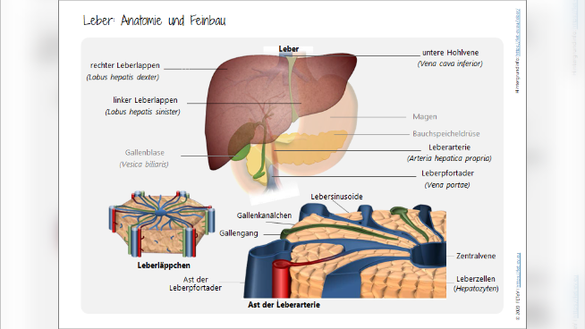 Leber: Anatomie und Feinbau