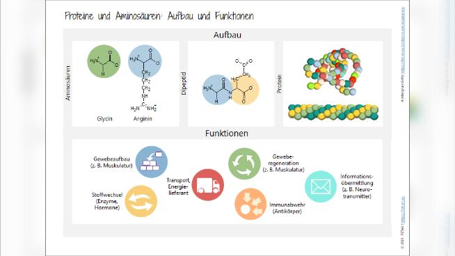 Proteine (Eiweiße) und Aminosäuren - Aufbau und Funktionen