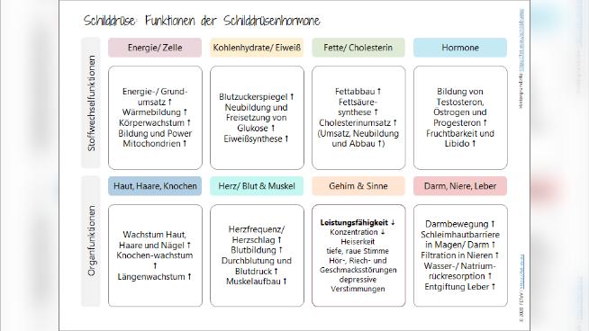 Schilddrüse: Funktionen der Schilddrüsenhormone