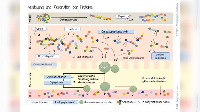 Verdauung und Resorption der Proteine