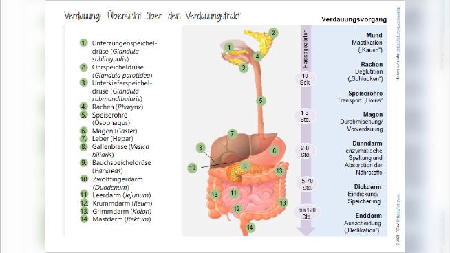 Verdauung: Übersicht über den Verdauungstrakt
